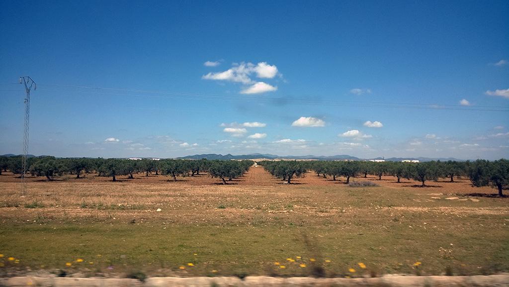 08_Olive_trees