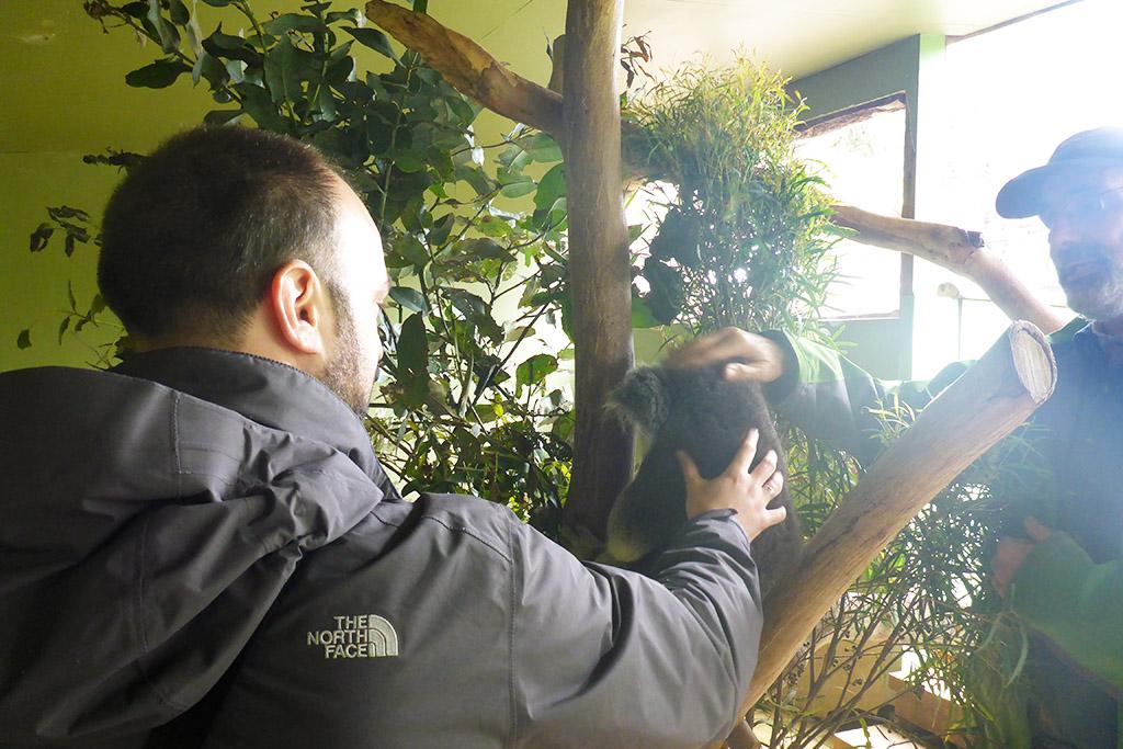 09_Petting_Koala_In_Bonorong_Tasmania