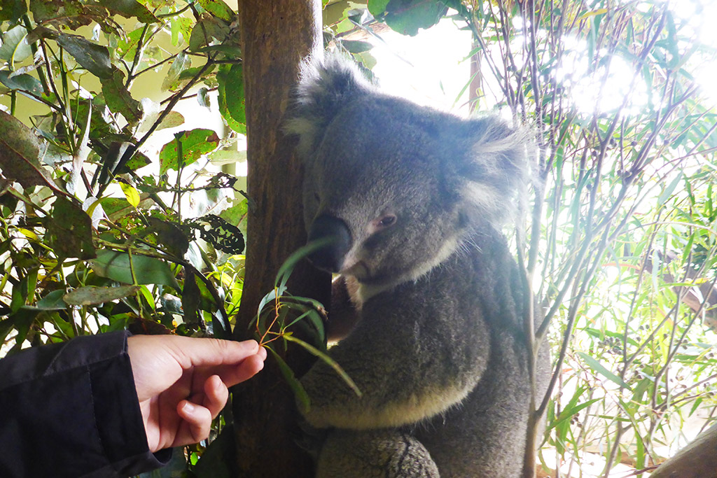 10_Feeding_Koala_With_Eucalyptus