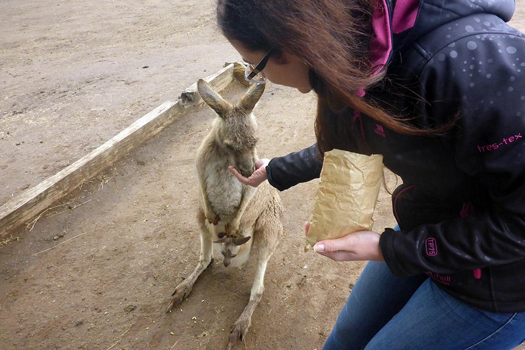 12_Dina_Feeding_Kangaroos_In_Bonorong_Tasmania