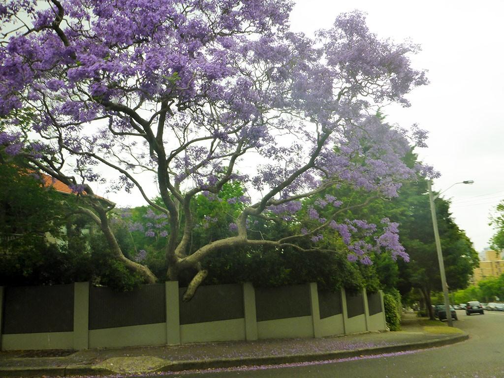 29_Sydneys_Jacaranda_Tree