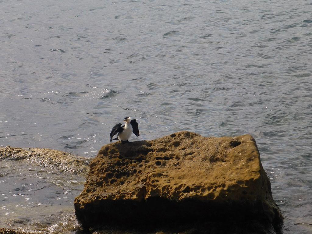 33_Penguin_On_Manley_Beach