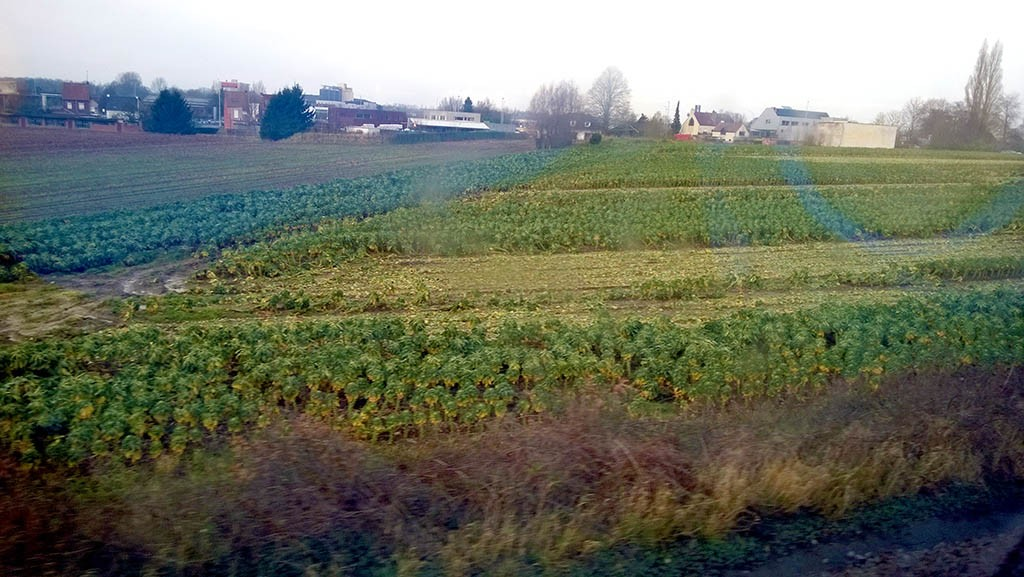 14_Brussel_Sprouts_In_Brugges