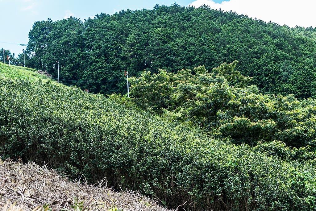 06-Abandoned-Tea-Fields-Fujieda-Japan