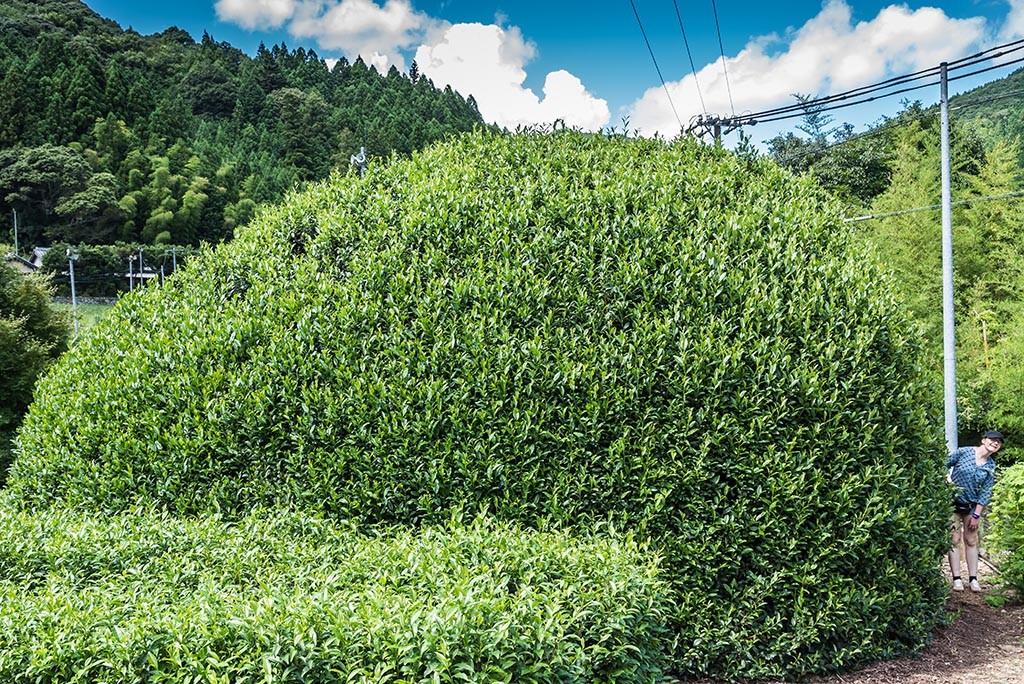 08-300-years-old-tea-tree